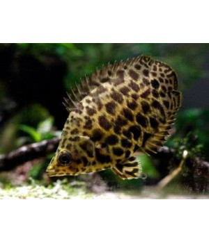 Ктенопома леопардовая 2,5см