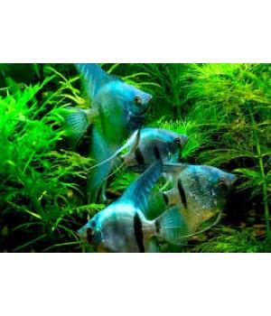 Скалярия голубой ангел 4-6 см*
