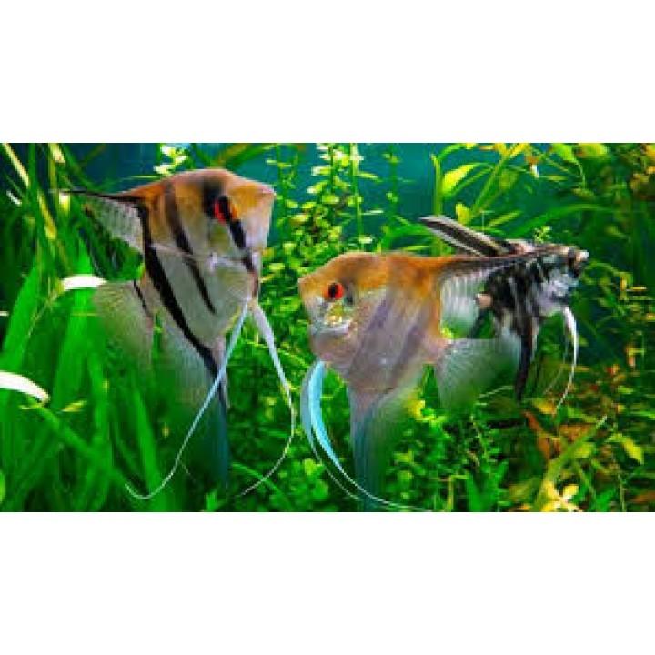 Скалярия бело-золотой мрамор
